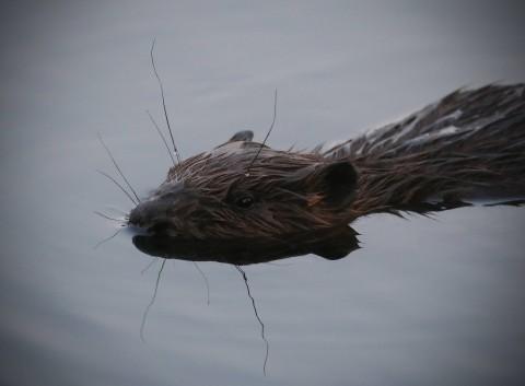 Водяная крыса(ондатра).