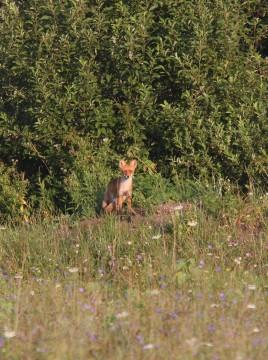 Осторожная лисица