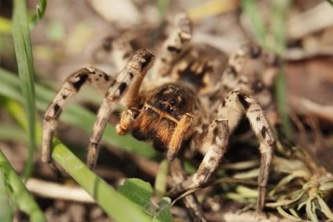 Самочка тарантула