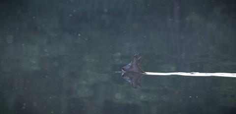 Плавающий косуль.