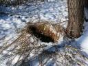 Зимняя лежка кабана