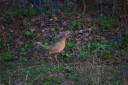 Курочка фазанчика